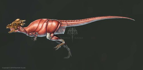 Pachycephalosaurus Wyomingensis Muscle (No Labels) by TheDragonofDoom