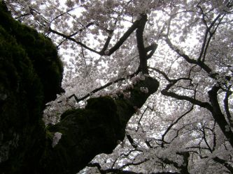 Cherry Blossoms by laura-worldwide