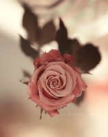Spring rose ... by aoao2