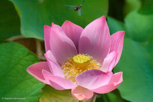 Dragonfly over lotus by dllavaneras