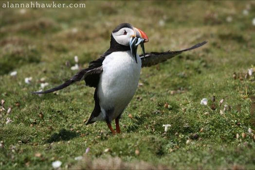 Puffin 05 by Alannah-Hawker