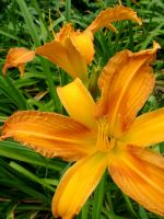 .stock: orange lilies. by guavon-stock