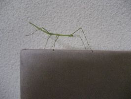 Stick Insect 2 by aru0