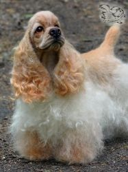 Needle Felted Spaniel by YuliaLeonovich