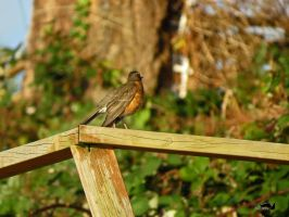 Robin On Railing by wolfwings1