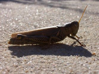 Grasshopper Number Two by Edminster