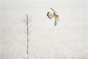 Common Kestrel under light snow by ClaudeG