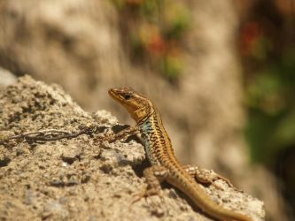 Peloponnese wall lizard by FeatherNerd
