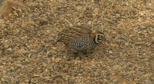 beautiful quail by marcus63a1