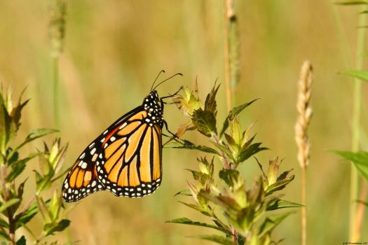 Sunny morning Monarch by natureguy