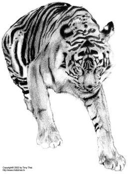 Tiger drawing by midiman