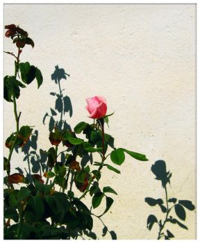 cretan rose by kristallfeder