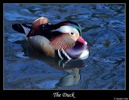 The duck by JasenkaLuksa