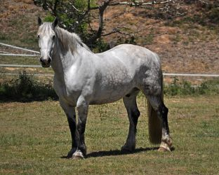 Percheron Gelding Stock by naturalhorses