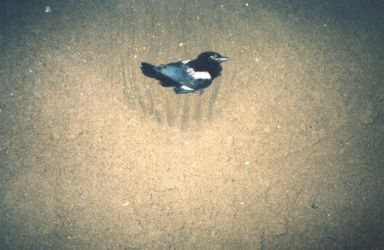 Dead Jay burial at the beach by ed---end