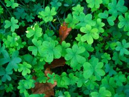Clovers. by cheiso
