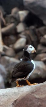 No Puffin by photographdork