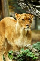 Lioness by Shadow-and-Flame-86