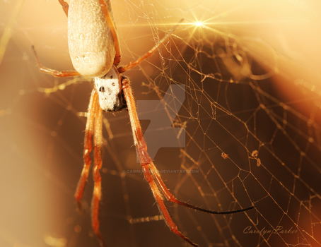 Golden Orb Spider 2 by Cairngorm747