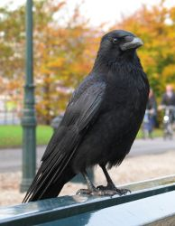 Crow 5 by dierat-stock