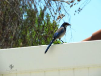 Blue Jay by DreamsWishesReality