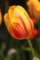 Yellow and Red Striped Tulip by CASPER1830