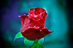 Red Rose by tazmaniandevil777