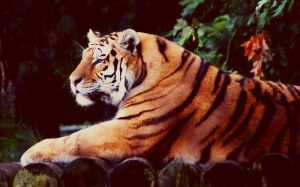 Tiger by oldpost