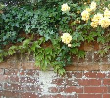 Roses on a wall. by tia-stock