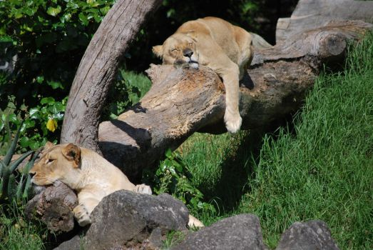 Lazy lovely lioness by theWildKitten
