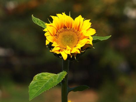 October 15th, Sunflower by Taliesin-Neonblack