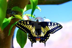 Swallowtail butterfly by SoulsofTheDoomed
