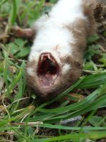 .Dead weasel 0083 by DelinquentDog