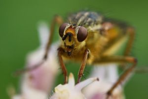 2681 Yellow Dung Fly by RealMantis