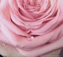 Pink rose with drops by FrancescaDelfino