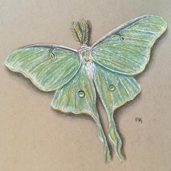 Luna Moth // colored pencil by MajesticPaula