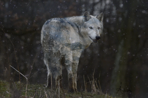 Wolf of Winter by Adarhi