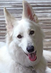 Skywalker White German Shepherd Dog Photo 1 by lady-cybercat
