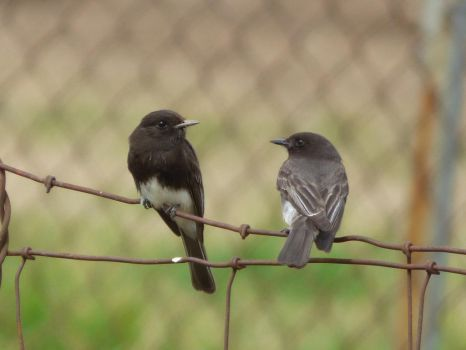 Two Black Phoebes by Geotripper