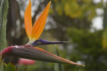 Bird of Paradise Flower by cognisant