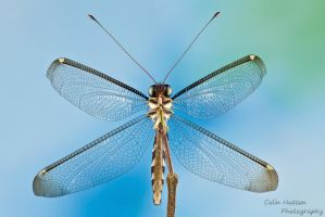 Owlfly by ColinHuttonPhoto