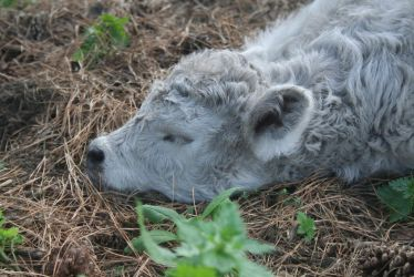Newborn Minto Galloway Calf by Attackoneverything