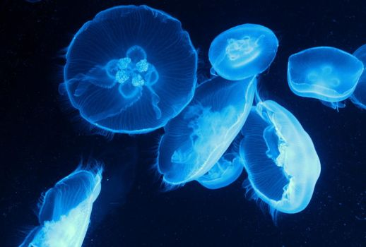 Moon Jellyfish by 1misio