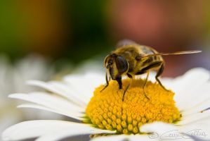 Bee fly by GerryGollan
