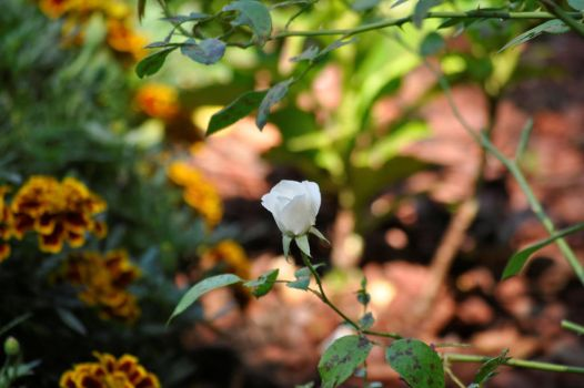 Striving for Beauty by Flower-of-Grace
