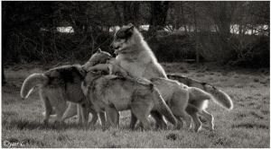 A wolf pack rally by Yair-Leibovich