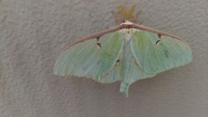 Luna Moth at the end of summer by TSofian
