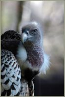 African White Backed Vulture by rgphoto777