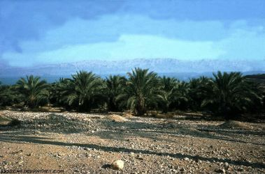 Date Palms Plantation - Dead Sea by Woscha
