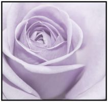 lilac rose by mzkate